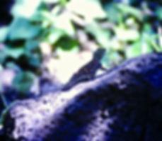 Ground Agama 02a, Tsavo, 12_88.jpg