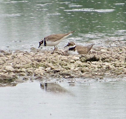 Little Ringed Plovers 03, Slimbridge, 24