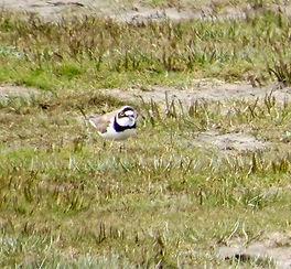 Little Ringed Plover 190417-01 Northwick
