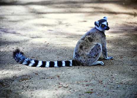 Ring-tailed Lemur 08a, Berenty, Madagasc