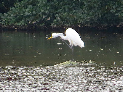 Great White Egret 170902, CVL, 29_9_17.j