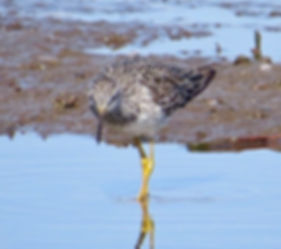 Lesser Yellowlegs 190326-22, Lodmoor.jpg