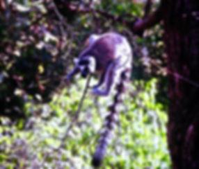 Ring-tailed Lemur 01a, Berenty, Madagasc