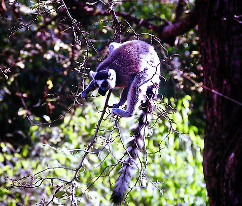 Ring-tailed Lemur 01a, Berenty, Madagasc