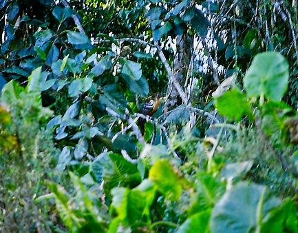 Hoatzin 01a, Limoncocha, 2_8_86.jpg
