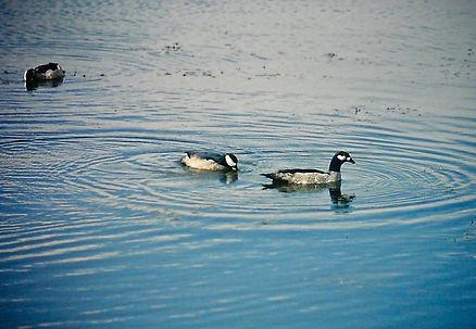 Green Pygmy-Goose 01a, Australia, 29_11_