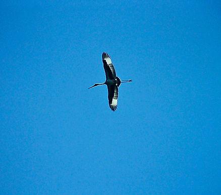 Black-necked Stork 01a, Fogg Dam, Aust,