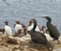 Shag 01, Farne Islands, 6_6_19.jpg