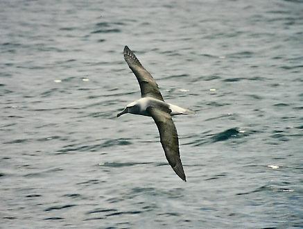 Shy Albatross 28a, Stewart Is NZ, 17-11-