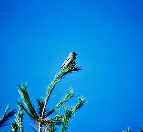 Pine Grosbeak 02a, Ontario, 11-11-87.jpg