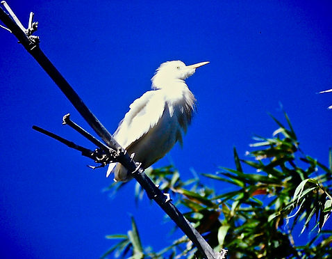 Cattle Egret 02a, Madagascar, 1-11-88.jp