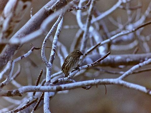 Small Tree Finch 02a, Isabela, Galapagos