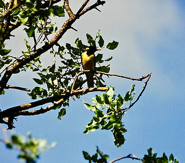 Black-headed Oriole 02a, Kenya, 12_88.jp