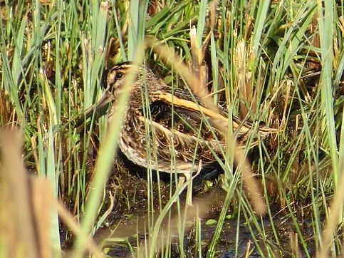 Jack Snipe 190108-01, Slimbridge.jpg