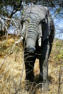 African Elephant 21a, Zimbabwe, 9_98.jpg
