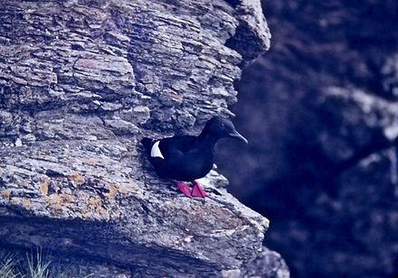 Black Guillemot 01a, Shetland, 16-7-77.j