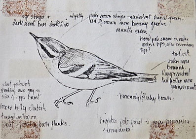 Yellow-browed Warbler, LAT, St. Agnes, 8