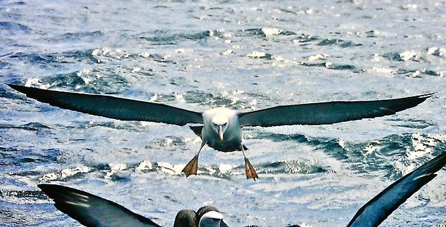 Shy Albatross 33a, Stewart Is NZ, 17-11-