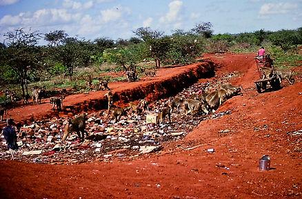 Yellow baboons 07a, Tsavo, 5_12_88.jpg