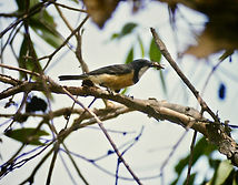 Rufous Whistler 01a, male, Kakadu, 29_11
