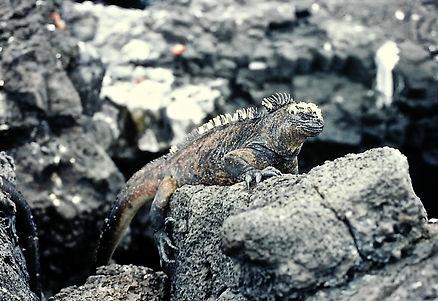Marine Iguana 16a, Santiago, Galapagos,