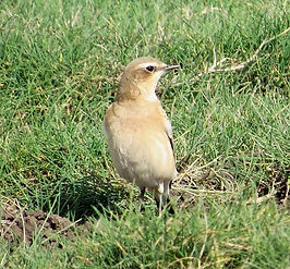 Wheatear 07a, Northwick Warth, 10-9-13.j