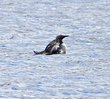 Black-throated Diver 03, Loch Achall, 10