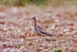 Little Whimbrel, Kenfig, 31_8_82, by Ric