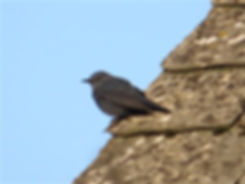 Blue Rock Thrush 04a, Stow-on-the-Wold,