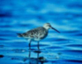Curlew Sandpiper 01a, Teesside, 1-9-82.j