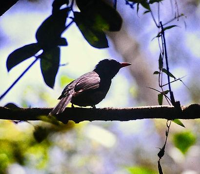 Madagascar Bulbul 01a, Perinet, 11_88.jp