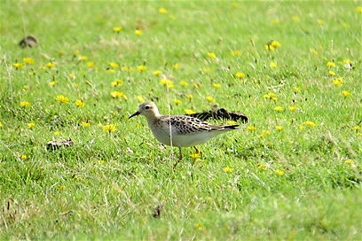 Buff-breasted Sandpiper 01a, Davidstow,