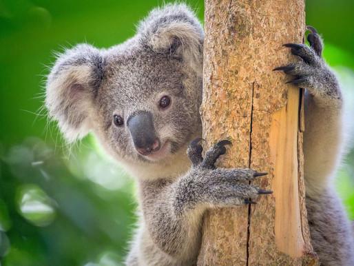 Pas touche à mon koala !