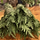 Thumbnail: Western red cedar smudge