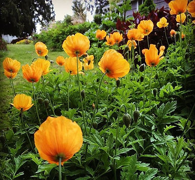 Delivered%2040%20bunches%20of%20these%20lovely%20poppies%20to%20_seattlewholesalegrowersmarket%20thi