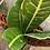 Thumbnail: Variegated croton