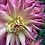 Thumbnail: Dahlia bunch
