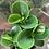 Thumbnail: Peperomia Thailand
