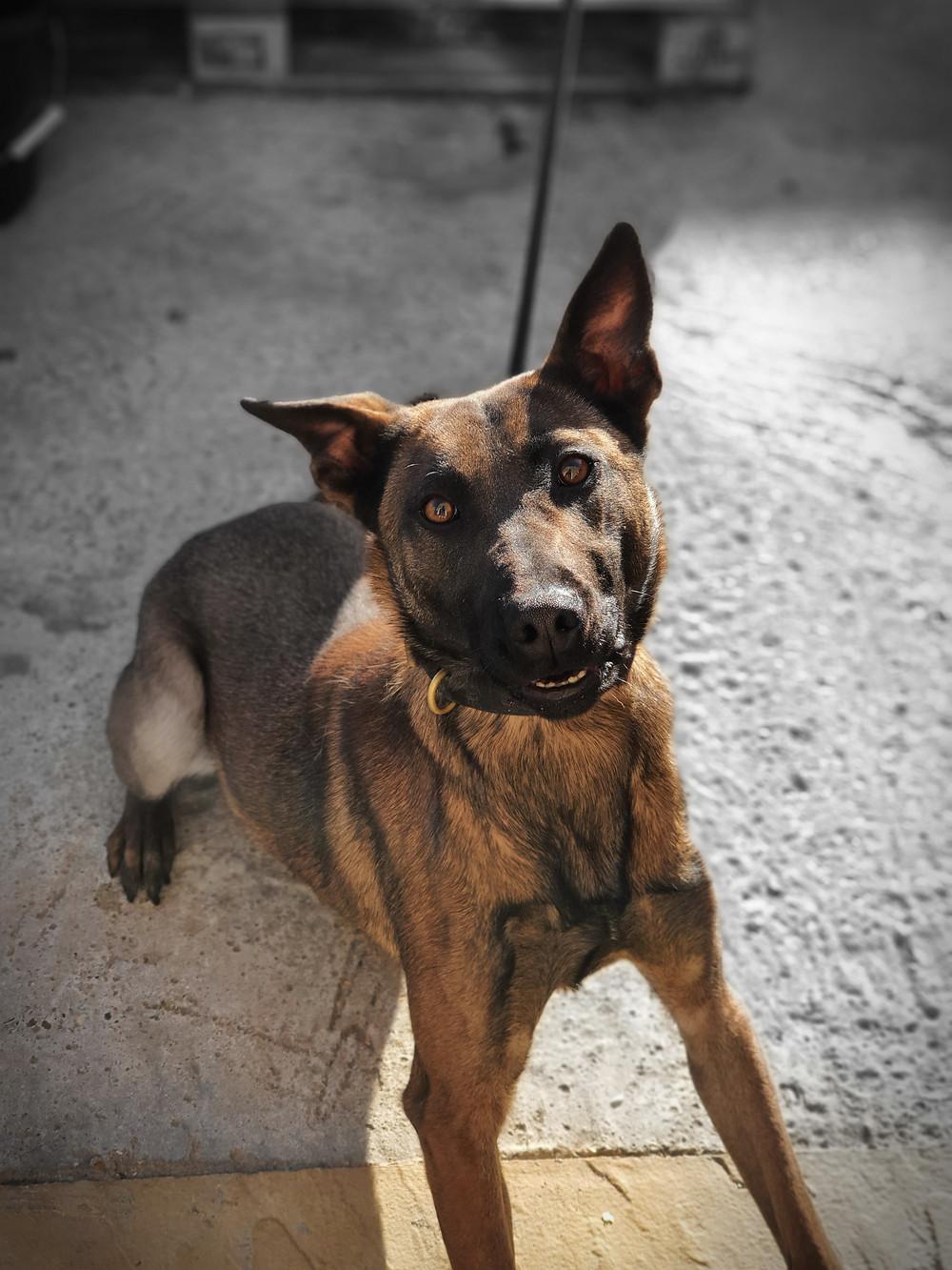 a Belgian Shepherd Malinois dog