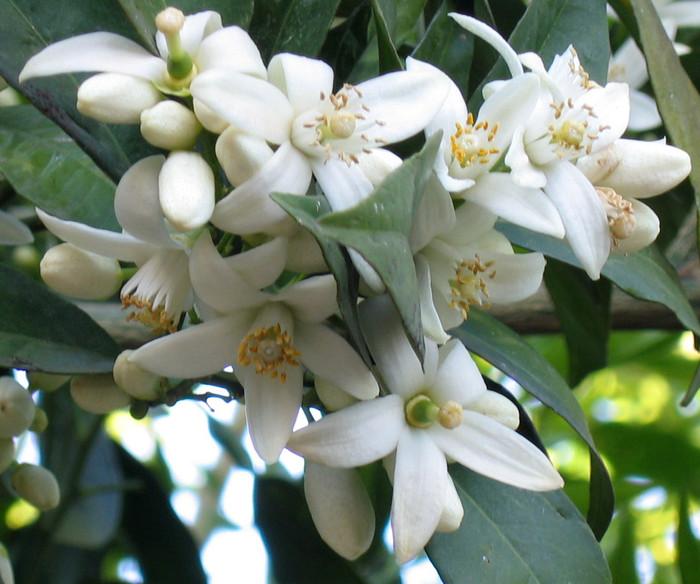 Le parfum des orangers en fleurs