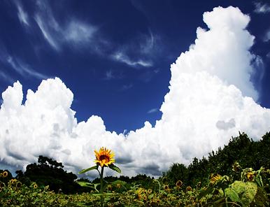 雲と向日葵.PNG