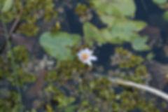 Lily Pad Blossom