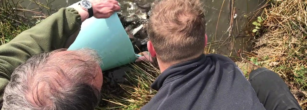 Callinors Pool Restocking Roach