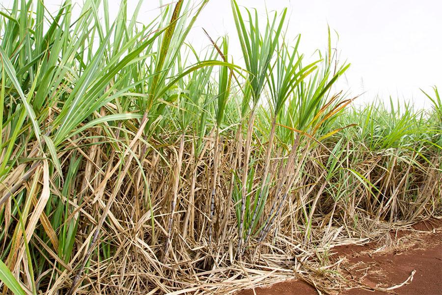 Estudo observa necessidade hídrica da cana na região de Araçatuba (SP) (Crédito: Gerhard Waller)