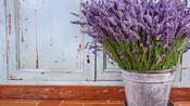 Você Sabia que a Lavanda é um Repelente Natural?