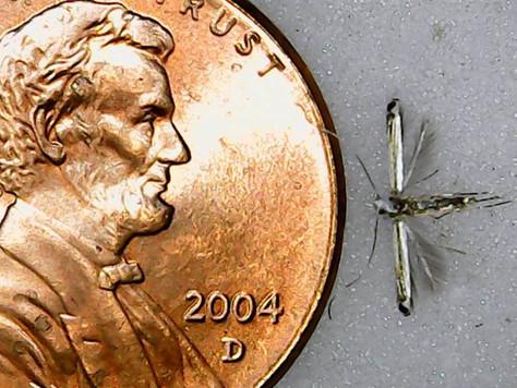 Leaf Blotch Miner Moth