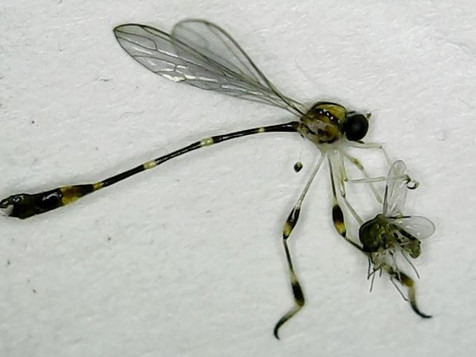 New Record of Two-Winged Flies (Insecta: Diptera)