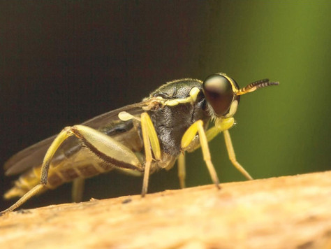 First Record of the Family Xylomyidae (Insecta: Diptera) in the Hawaiian Islands