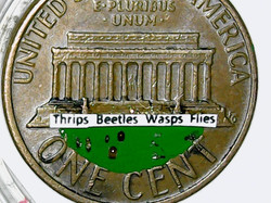 Thrips Beetles Wasps Flies 1