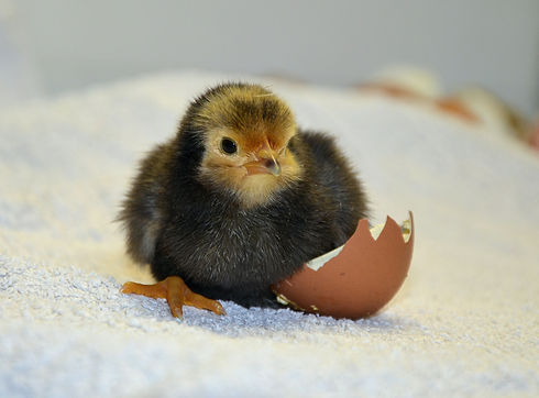 chicks-490957_1920.jpg